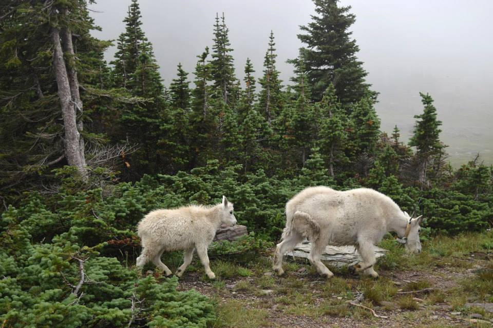 Family of Mountain Goats