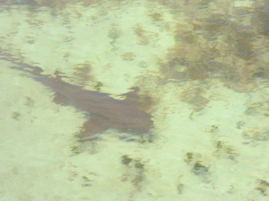 Florida Keys Shark
