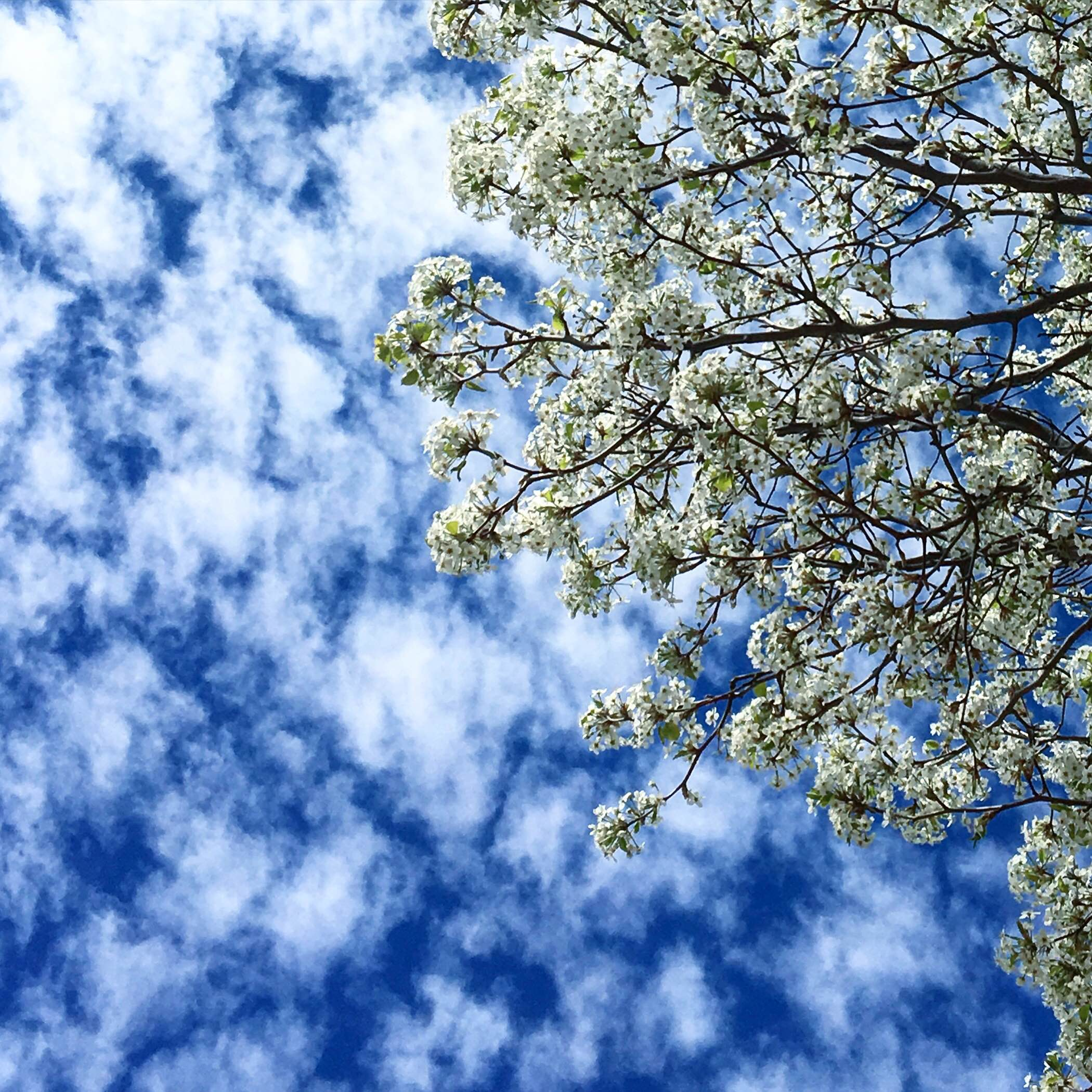 Spring Blossoms and Blue Skies