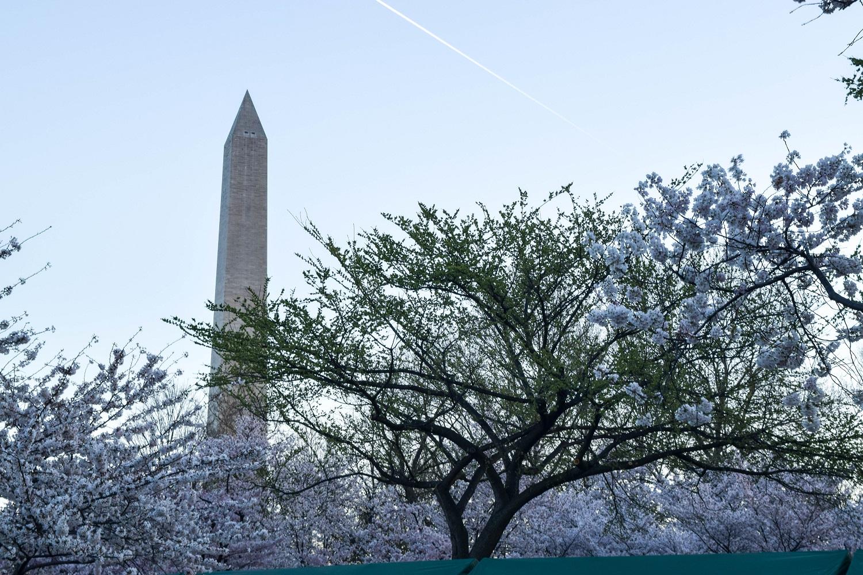 Washington and Cherry Trees