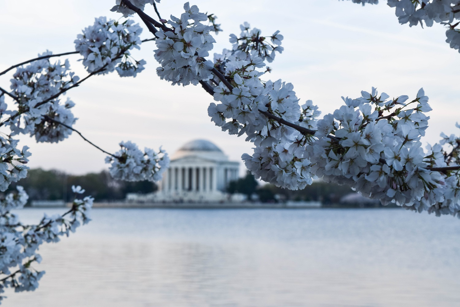 Jefferson and Cherry Blossoms