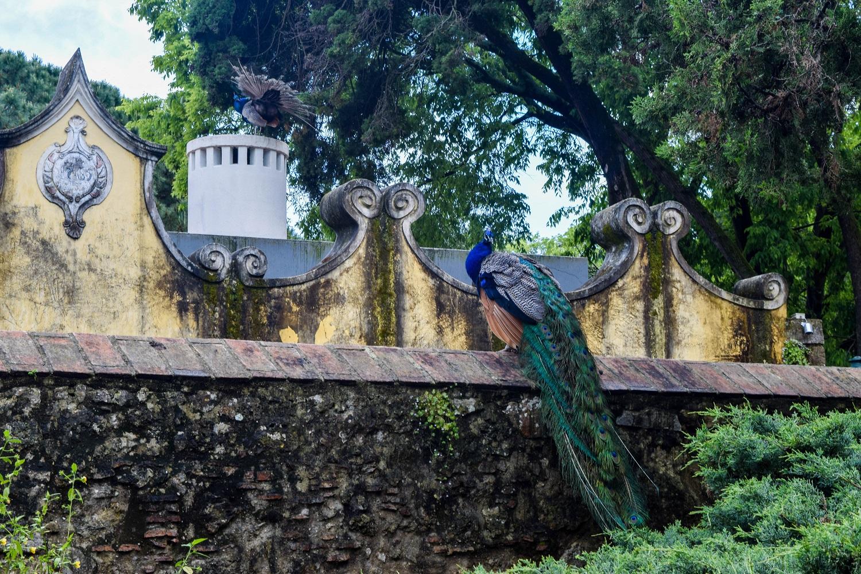 Castelo de Sao Jorge Peacock