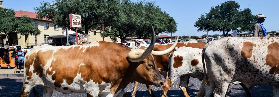 Cattle Drives and a Taste of the Old West